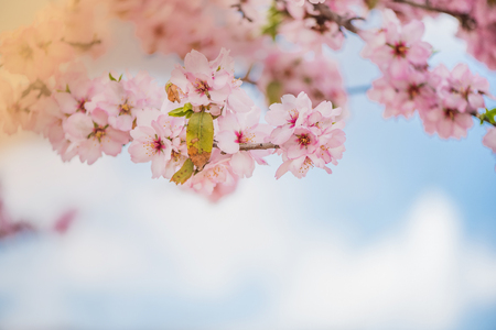 Spring blossom orchard. Abstract blurred background. Pastel colors and toned effect. Copy space with border. Reklamní fotografie - 92517430