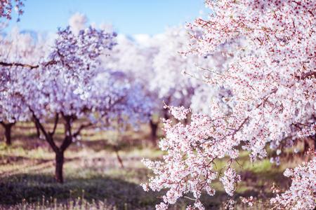 Delikatne kwiaty na drzewach owocowych wiosną w sadzie