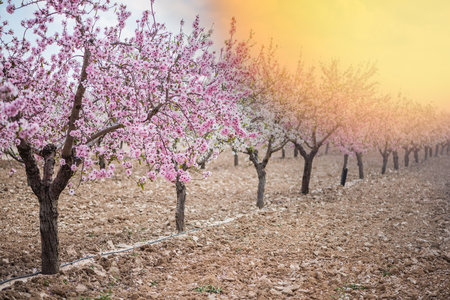 Spring blossom orchard. Abstract blurred background. Pastel colors and toned effect. Copy space with border.