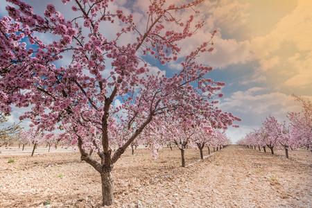 Frutteto di primavera. La bella scena della natura con l'albero di fioritura ed il chiarore del sole. Archivio Fotografico