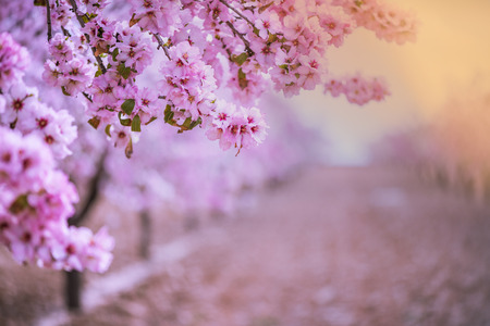 Verger de fleurs de printemps. Arrière-plan flou abstrait. Couleurs pastel et effet tonique. Copiez l'espace avec la bordure.