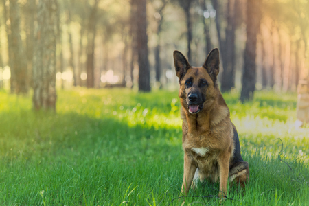German shepherd dog sitting in forest