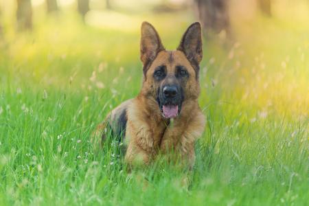 Zuivere Duitse herderhond die op gras ligt Stockfoto