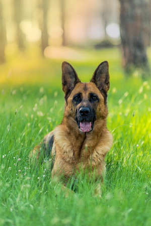 Pure german shepherd dog laying on grass Stock Photo