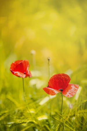 Close view on poppy flowers with bokeh and blur Stock Photo
