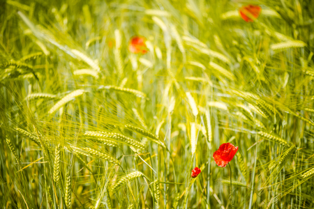 Abstract image of poppy in wheat crop field
