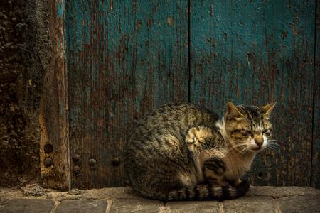 모로코에서 오래 된 나무로되는 문 옆에 휴식하는 고양이. 스톡 콘텐츠