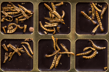 Chocolate with edible insects and worms, alternative food.