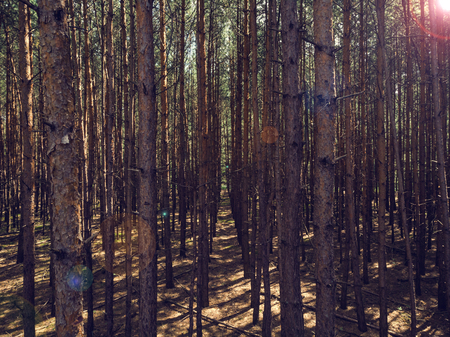 Viev trough dense pine forest