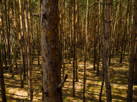 Elevated view trough dense pine forest Archivio Fotografico - 106235084