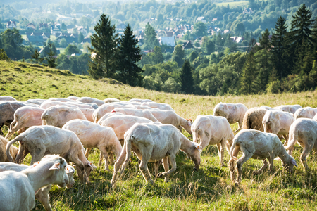 Sheep pasture in high mountains range at summer time