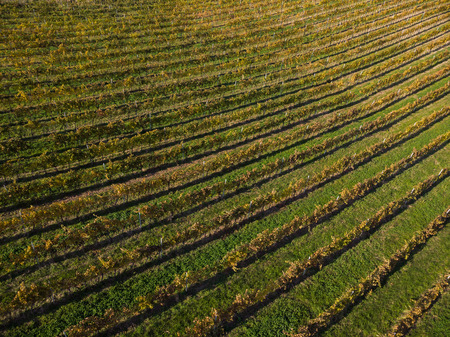 Beautiful patterns in autumnal vineyards,from above.