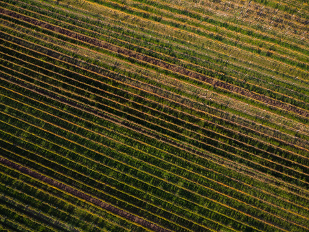 Vineyards in Czech Moravia, aerial drone view.