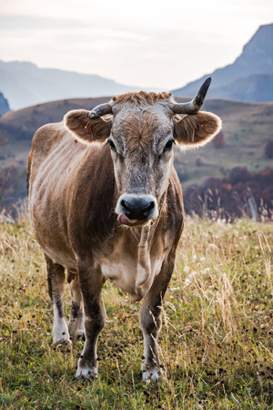 Happy cow grazing on pasture in Bosnia.