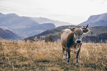 Happy cow grazing outdoor in autumn, Bosnia and Herzegovina.