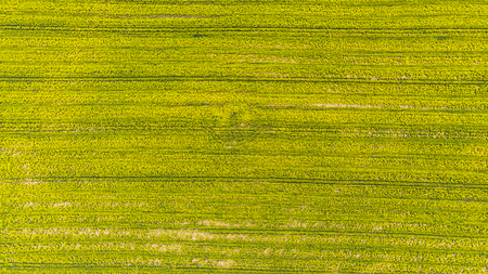 Yellow rape field at early spring, aerial view, drone photo. 스톡 콘텐츠
