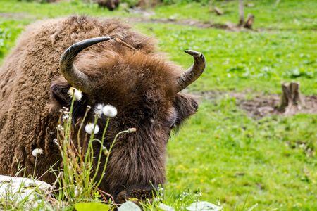 European bison (Bison bonasus) close view on head nad horns.