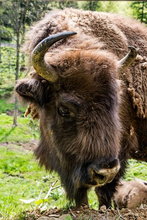 Endangered European bison (Bison bonasus) grazing on meadow.