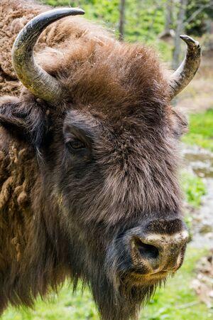 European bison (Bison bonasus) head portrait in natural habitat.
