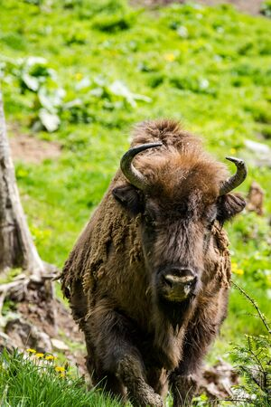 European bison (Bison bonasus) walking towards, in natural habitat,Poland.