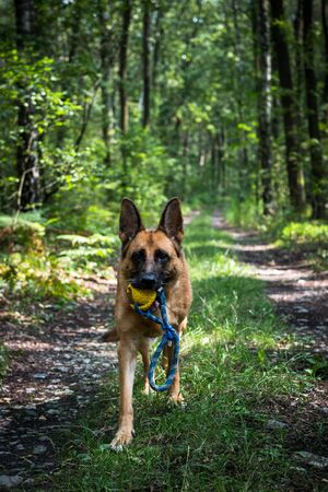 Adult German Shepherd Active Dog, Exercises in Forest, Helthy Lifestyle.