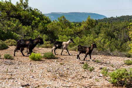 Happy Goats in Rural Scenery, Rhodes,Greece.