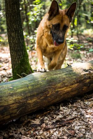 German Shepherd Dog Jumping Over Fallen Tree in Forest, Action Blur. 스톡 콘텐츠