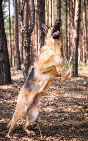 Active German Shepherd Dog Jumping in Forest, Action Blur, Outdoor Scenery. 스톡 콘텐츠