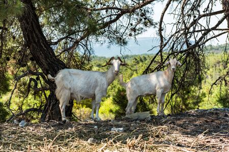 Two White Goats in Greece Countryside,Rhodes,Greece. Фото со стока
