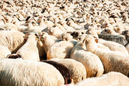 Many Sheeps in Herd or Flock , Farming and Agriculture Background. 스톡 콘텐츠