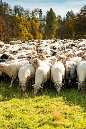 Many Sheeps in Herd Grazing on Pasture at Sunny Autumn Day.