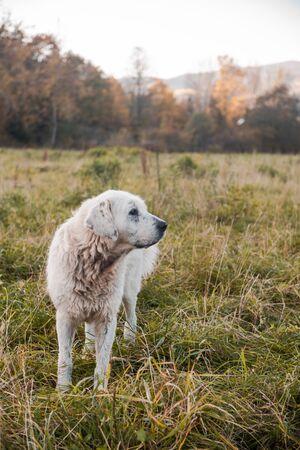 Working Shepherd Dogs Guarding Sheep Flock in Polish Highlands Pastures. 写真素材