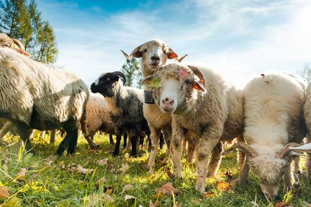 Happy Sheeps Grazing on Green Pasture, Close Up Low Angle Shoot