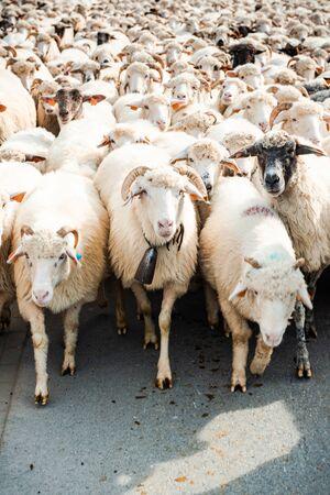 Rebaño de ovejas caminando de pasto a granja.