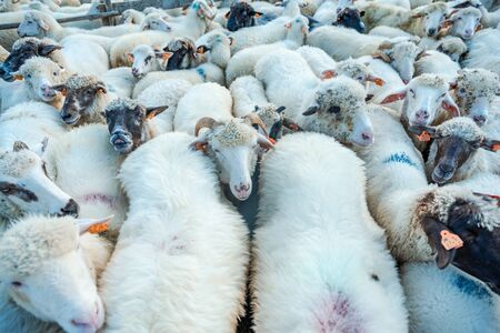 Many Sheeps in Herd or Flock , Farming and Agriculture Background. Stock fotó - 131792279