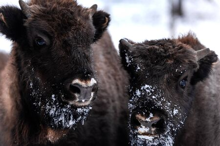 Young and Adult European bison (Bison bonasus) Family Portrait Outdoor at Winter Season.