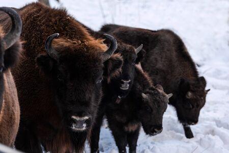 European bison (Bison bonasus) Family Portrait Outdoor at Winter Season.