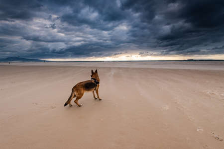 Adult German Shepherd Dog on Beach at Stormy Weather. Dog portrait.