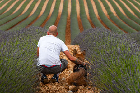 Man with German Shepherd Dog at Blooming Lavender Fields in Provance,France.