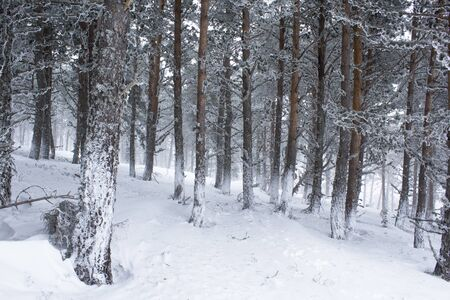 NIce and calm white snowy forest. White and green tones. Horizontal view.
