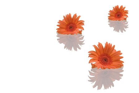 Gerber flowers with reflection isolated on white background photo