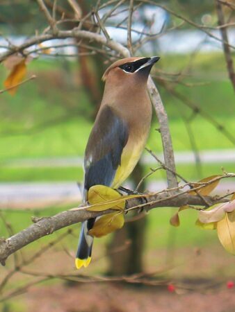 A male Cedar Waxwing bird perched on a branch, near Messiah College in Grantham, Pennsylvania