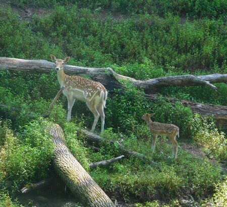 Baby fallow deer fawn following its mother foraging for food, in the forest in Lake Tobias Wildlife Park