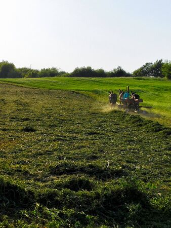 An Amish man and a team of two mules brushing freshly cut alfalfa grass into long piles for easier baling Zdjęcie Seryjne