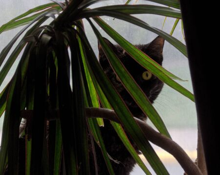 A tortoiseshell cat looking out from between the leaves of a dracaena marginata plant.