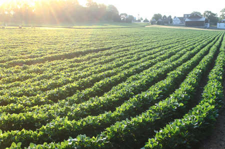Long rows of green soybean plants in the morning sunlight