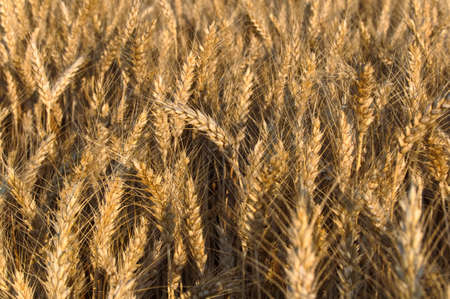 Golden wheat heads ready for harvest in a wheat field of an Amish farm in Lancaster, Pennsylvania
