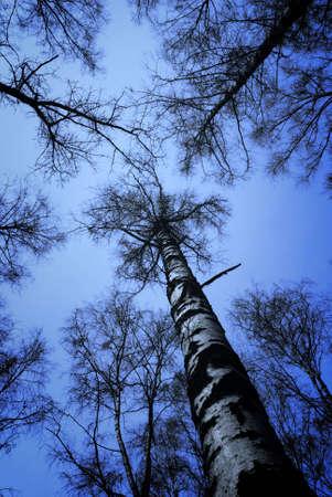 boles: Loking up to blue sky along birch boles.
