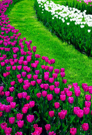 grassplot: Tulip flower-bed.