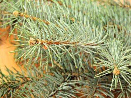 silver fir photo